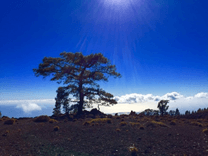 Pine tree in the canadas of Tenerife, in the background there is the blue sky